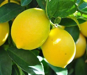 Τα βότανα στη ζωή μας - Λεμονιά