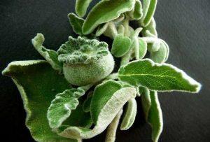 Τα βότανα στη ζωή μας - Φασκόμηλο
