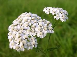Τα βότανα στη ζωή μας: Αχιλλαία