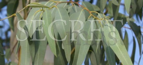 Τα βότανα στη ζωή μας - Ευκάλυπτος