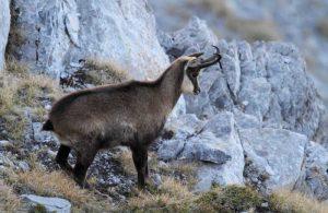 Έκκληση για προστασία της «αντιλόπης των ελληνικών βουνών»